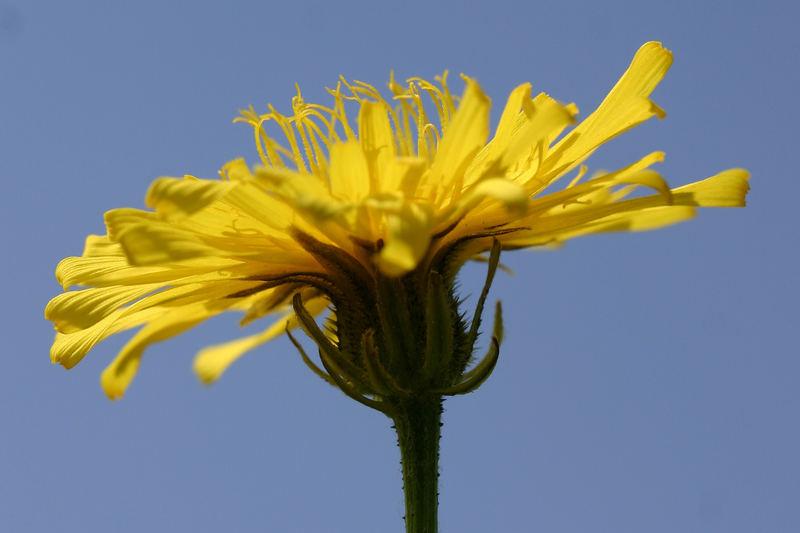 little yellow sun