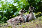 Little.ducklings.