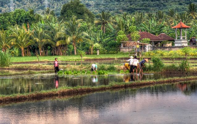 Living and working in the rice fields