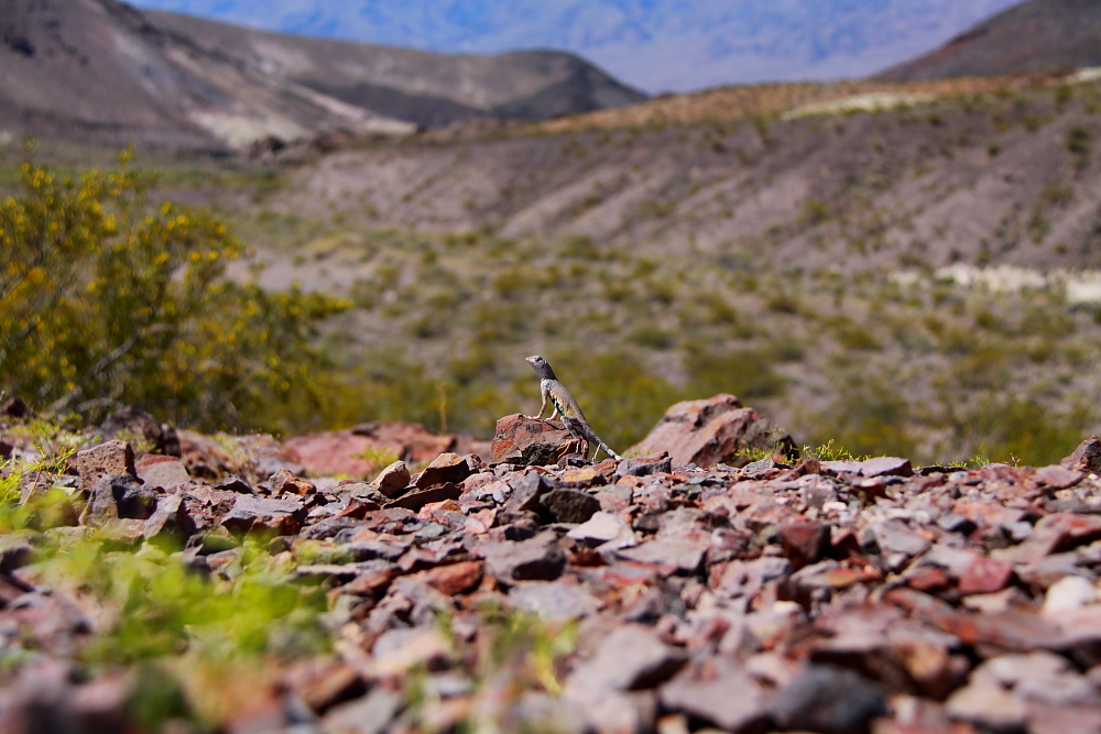 Lizard - Death Valley