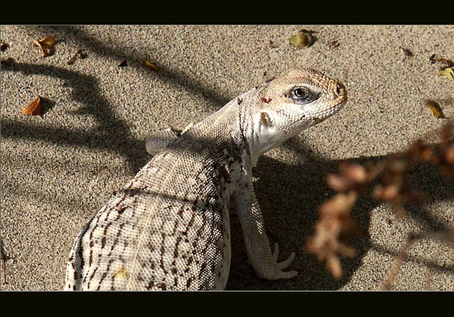 Lizard im Death Valley ...