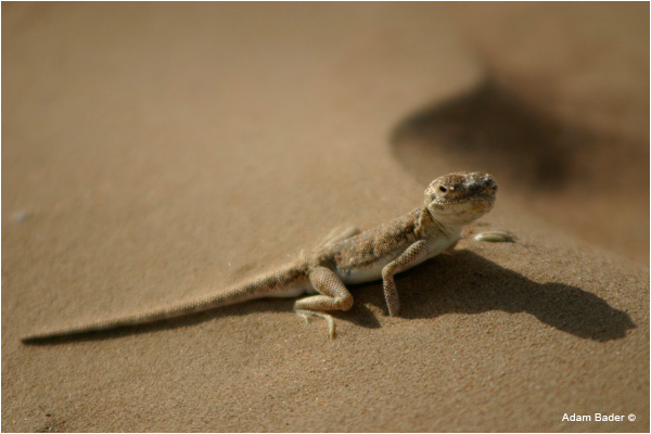 Lizard in a desert