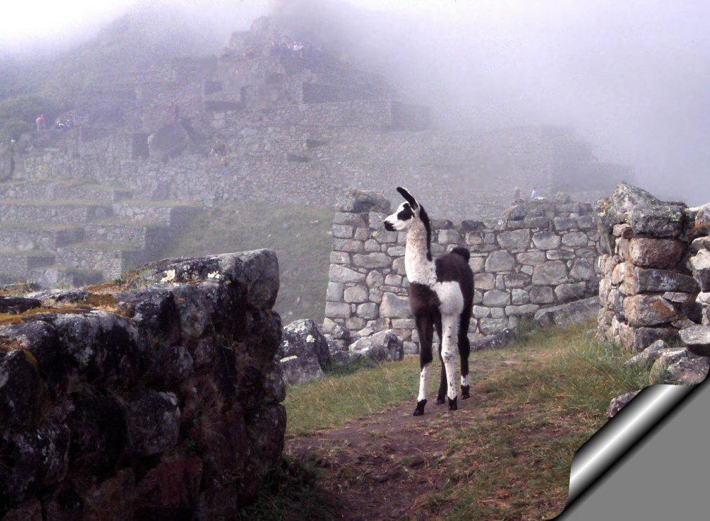 Llamita envuelta en la niebla de Machu Picchu.