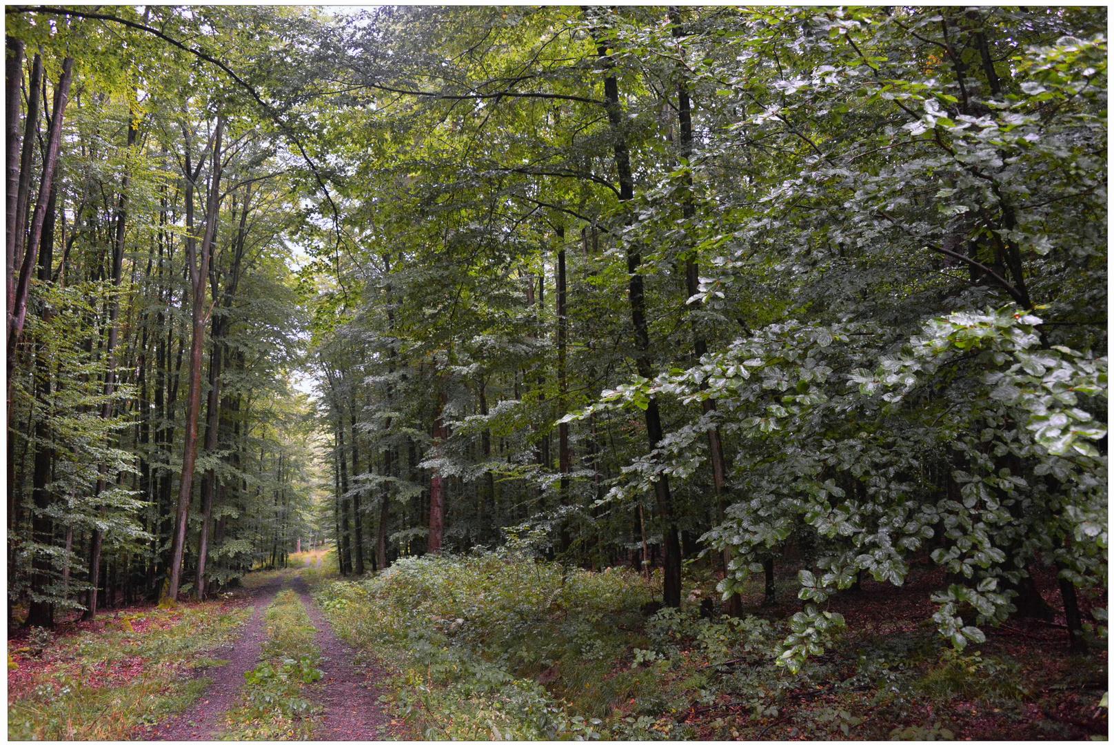 Lluvia en el bosque II, camino por el bosque (Regen im Wald II)
