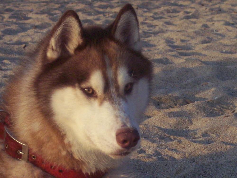 lo sguardo attento di lupo
