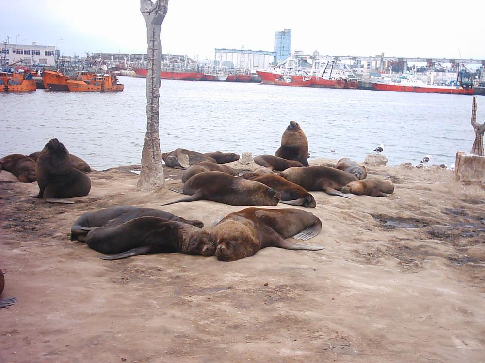Lobos de Mar Mar del Plata