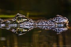 L'occhio del caimano