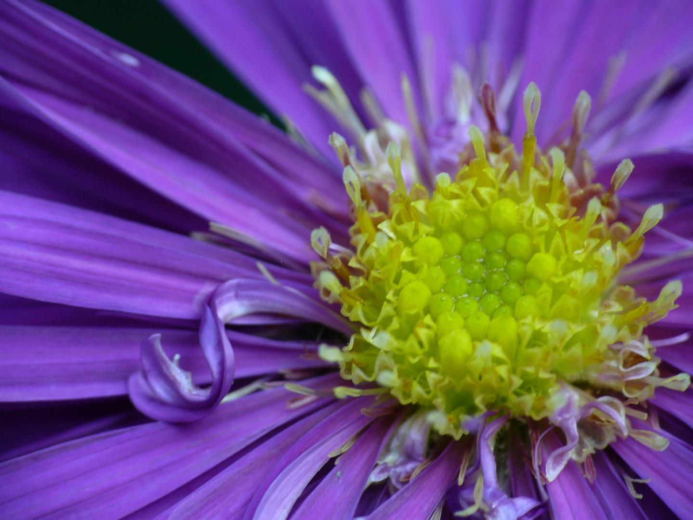 Lockenblume