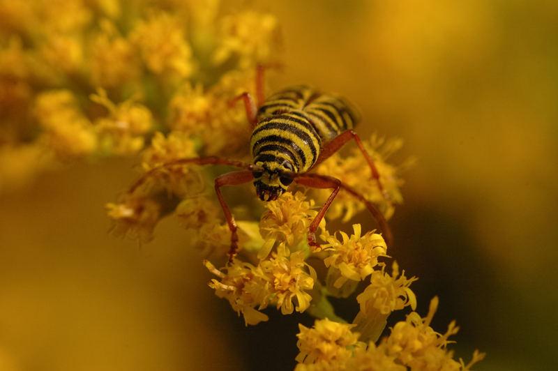 Locust Borer (Megacyllene robiniae)