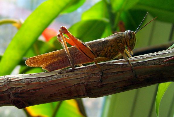 Locust :.: Çekirge :.: Heuschrecke