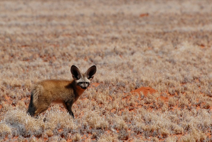 Löffelhund (Bat- eared fox)