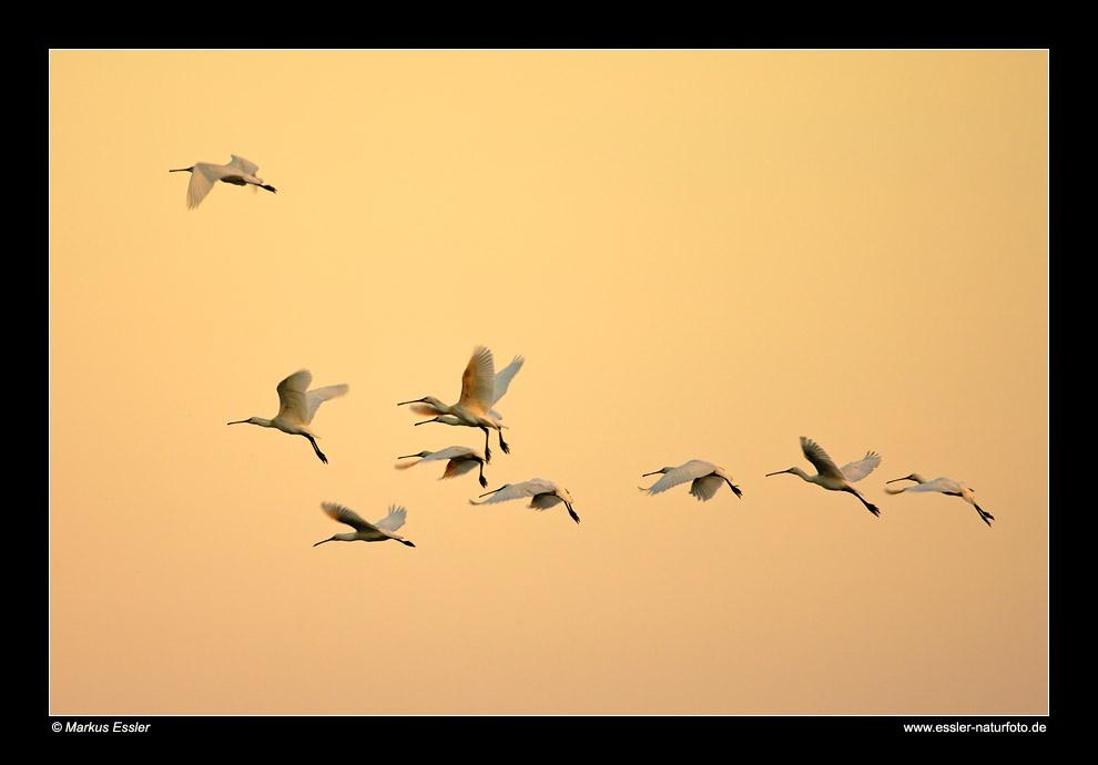 Löffler im Flug • Insel Texel, Nord-Holland, Niederlande (21-21350)