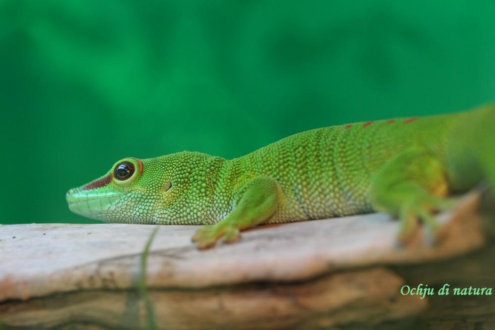 L'oeil du gecko