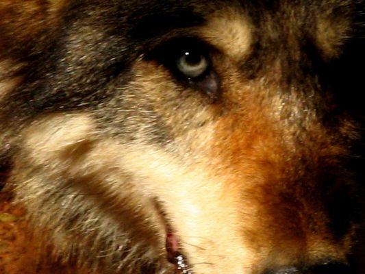 L'oeil du loup...