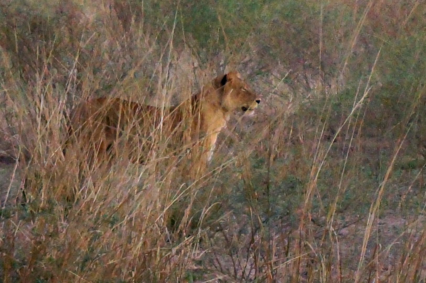 Löwe auf der Jagd