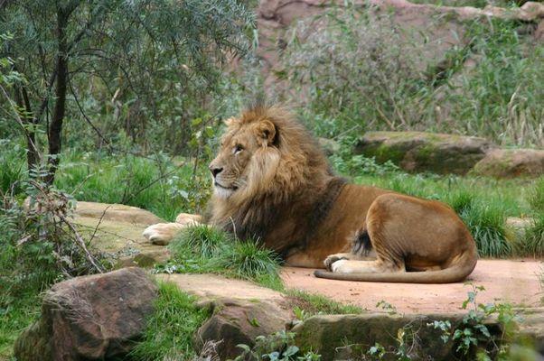 Löwe aus dem Ruhr Zoo