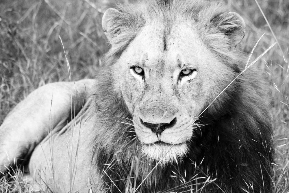 Löwe aus Südafrika