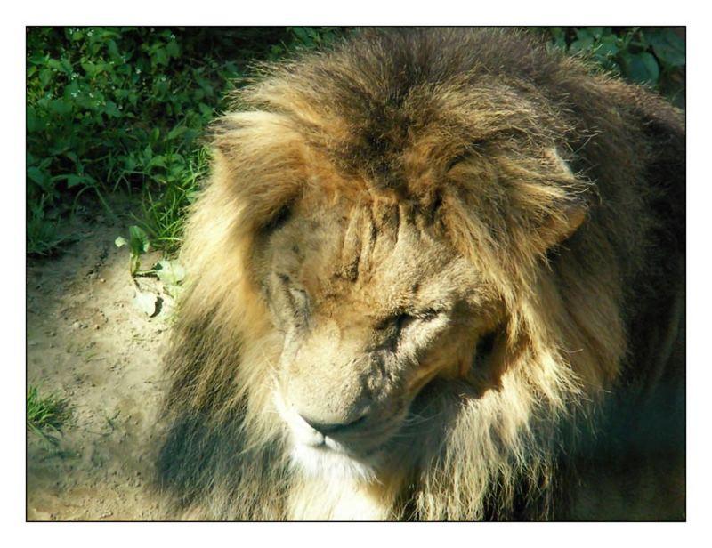Löwe beim Mittagsschlaf