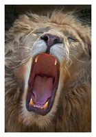 Löwe gähnt