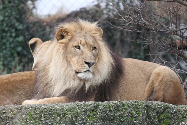 Löwe im Basler Zoo
