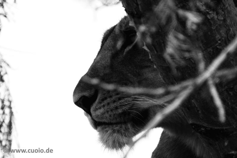 l we im baum schwarz wei foto bild tiere wildlife s ugetiere bilder auf fotocommunity. Black Bedroom Furniture Sets. Home Design Ideas