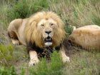 Löwe im Botlierskop Game Reserve - Süd Afrika