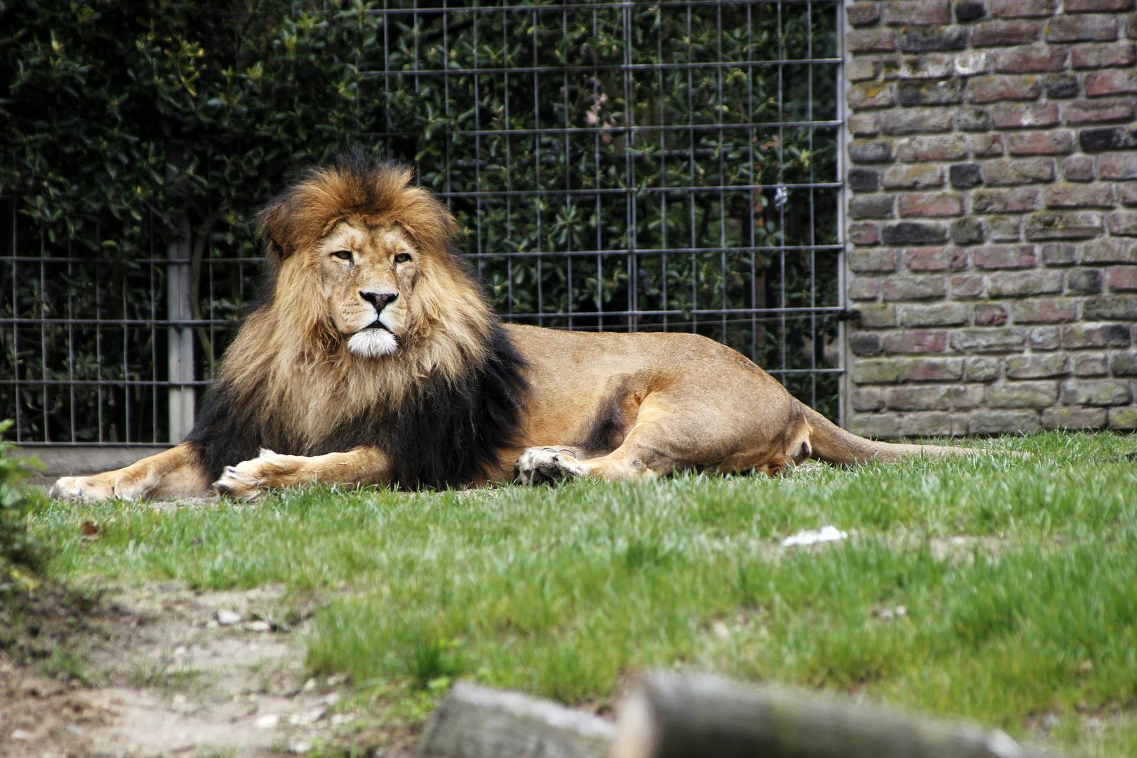 Löwe im Duisburger Zoo, 2 Versuch