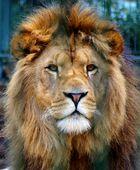 Löwe im Eifelzoo