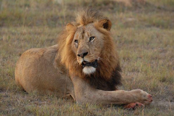 Löwe im Idwala Game Reserve / South Africa