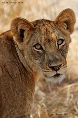 Löwe im Kafue Nationalpark, Sambia