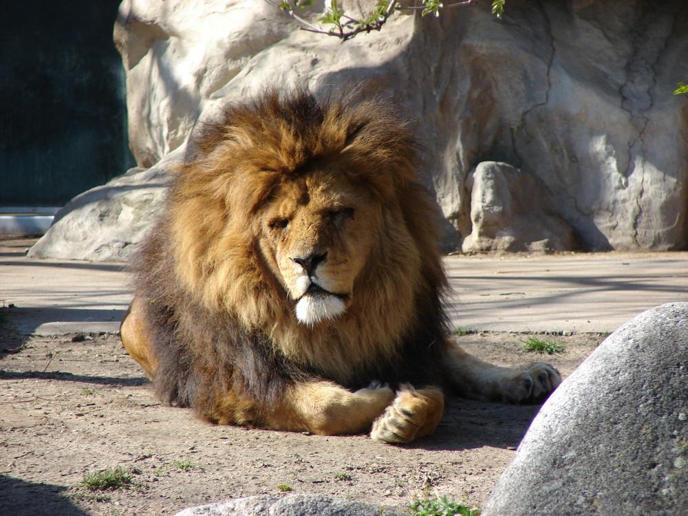 l we im karlsruher zoo foto bild tiere zoo wildpark falknerei s ugetiere bilder auf. Black Bedroom Furniture Sets. Home Design Ideas