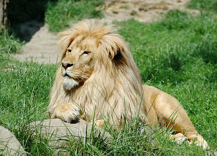 Löwe im Leipziger Zoo