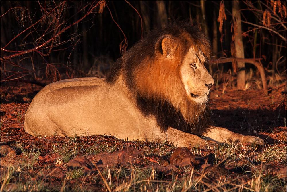 Löwe im Morgenlicht