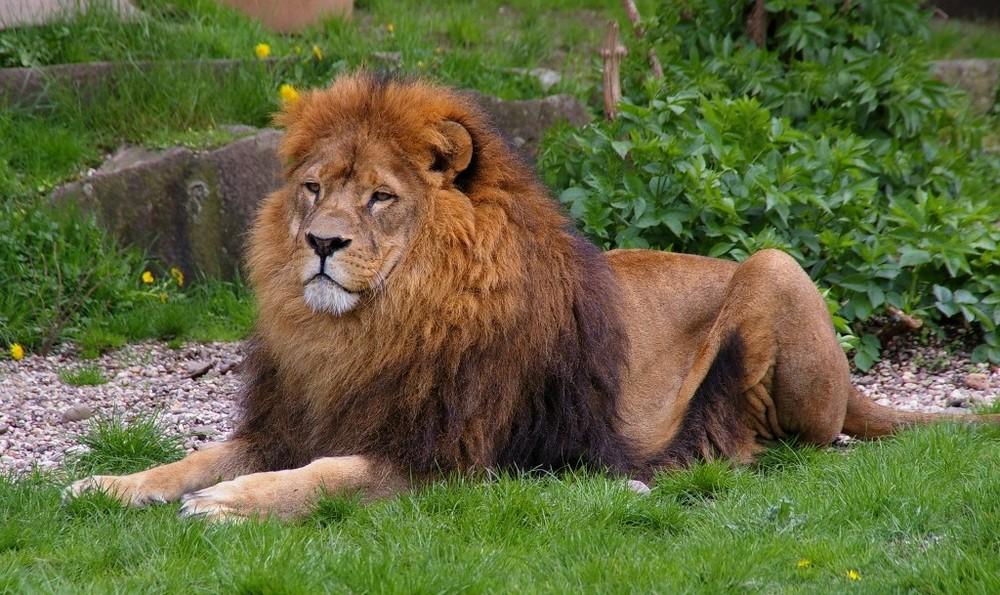 Löwe im Zoo Dortmund
