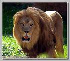 Löwe im Zoo Hannover 02