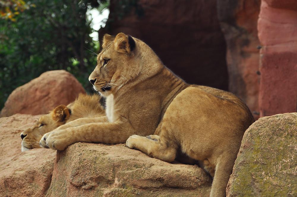 Löwe im Zoo Hannover :)