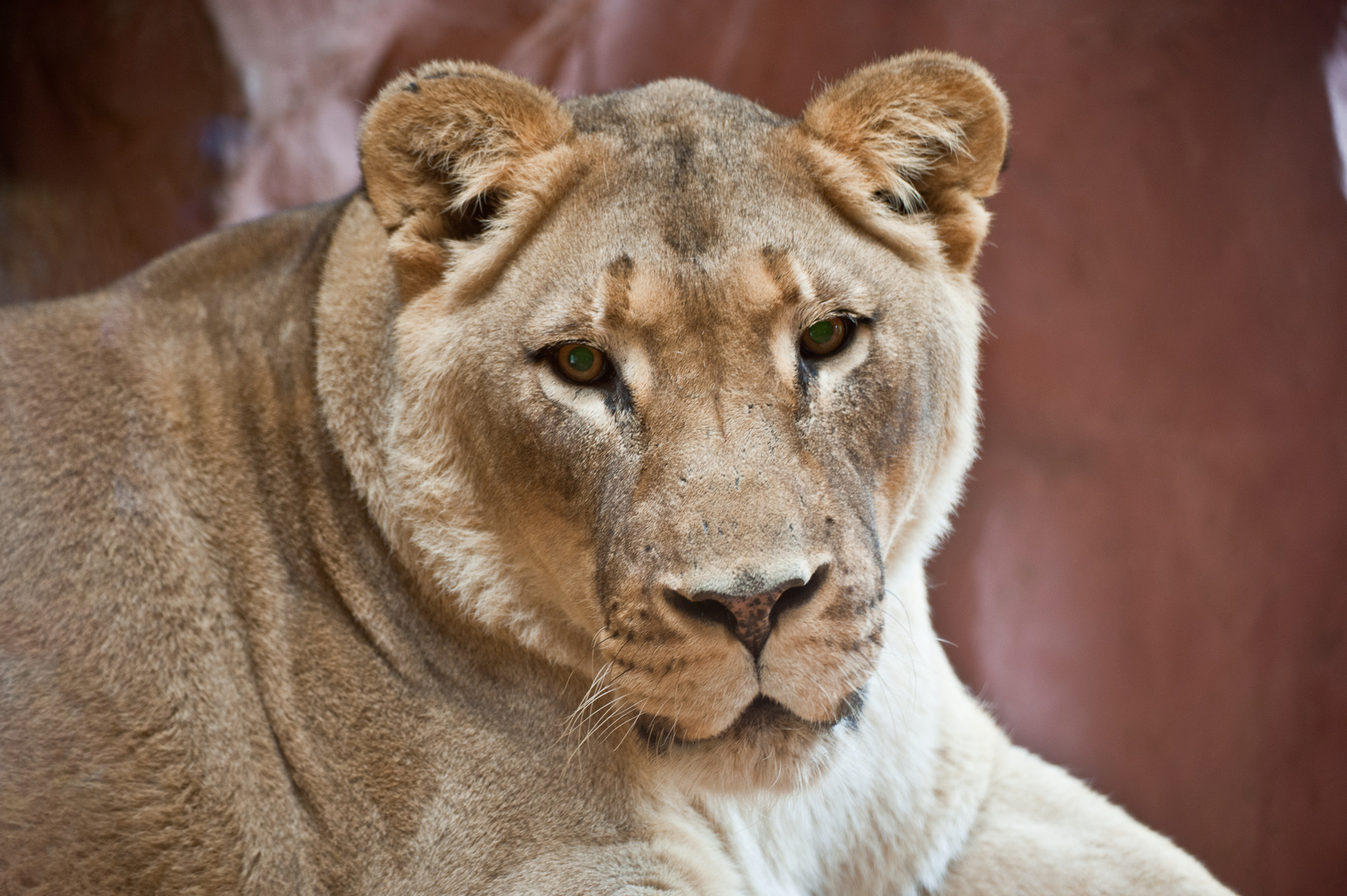 Löwe im Zoom
