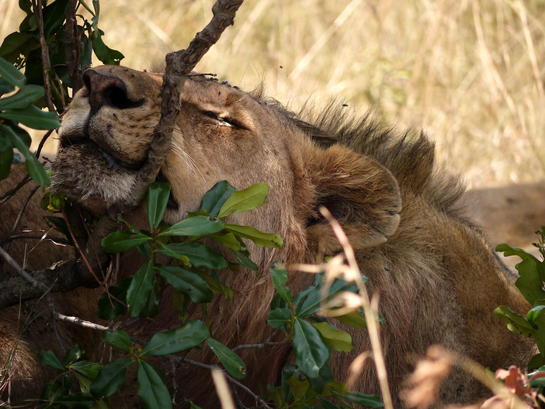 Löwe in der Astgabel