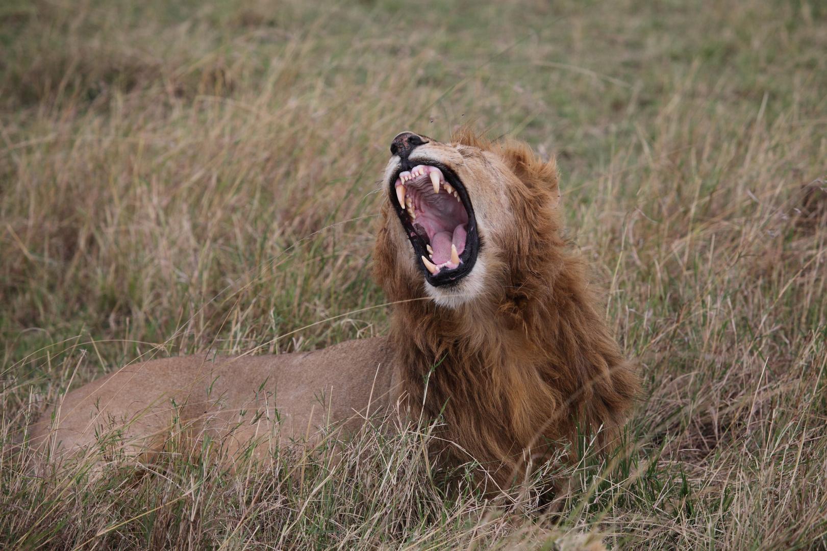 Löwe in der Masai Mara 2