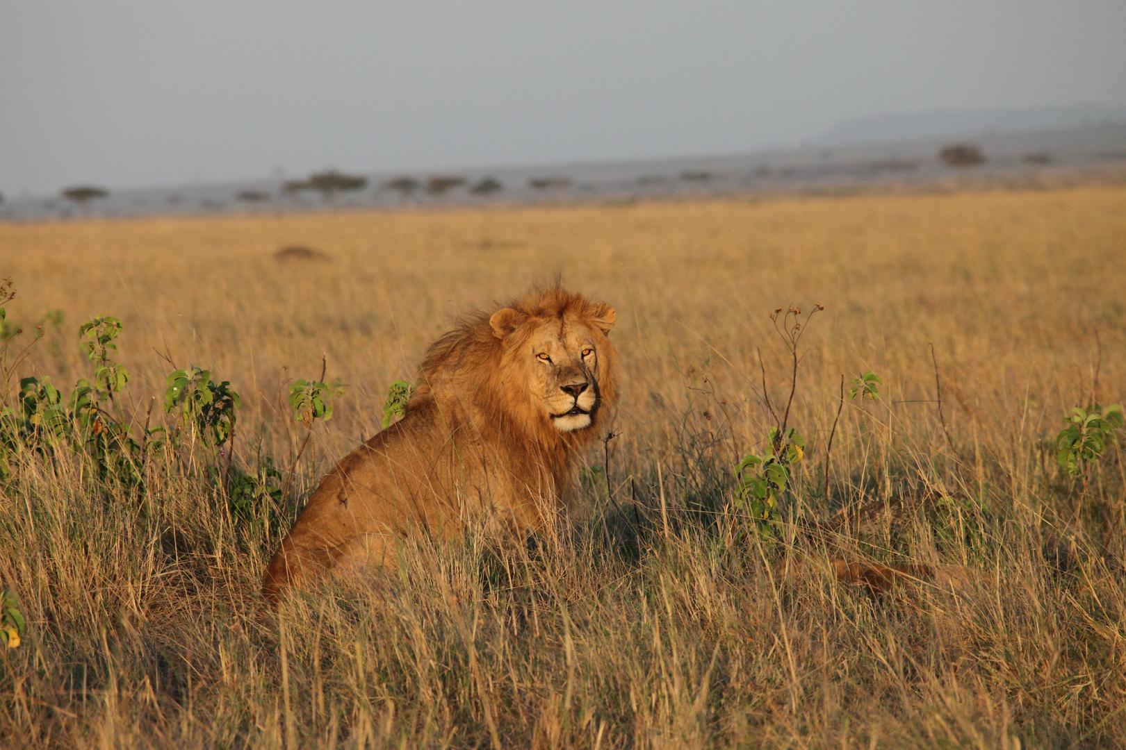 Löwe in der Masai-Mara