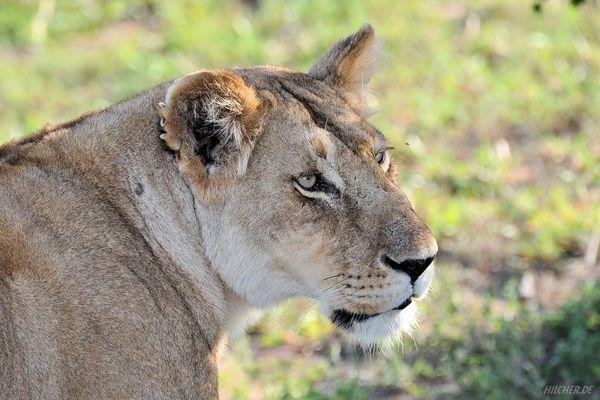Löwe in der Masai Mara in Kenia