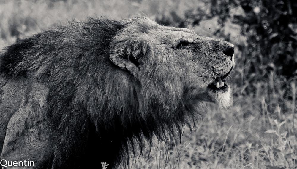 Löwe in SA