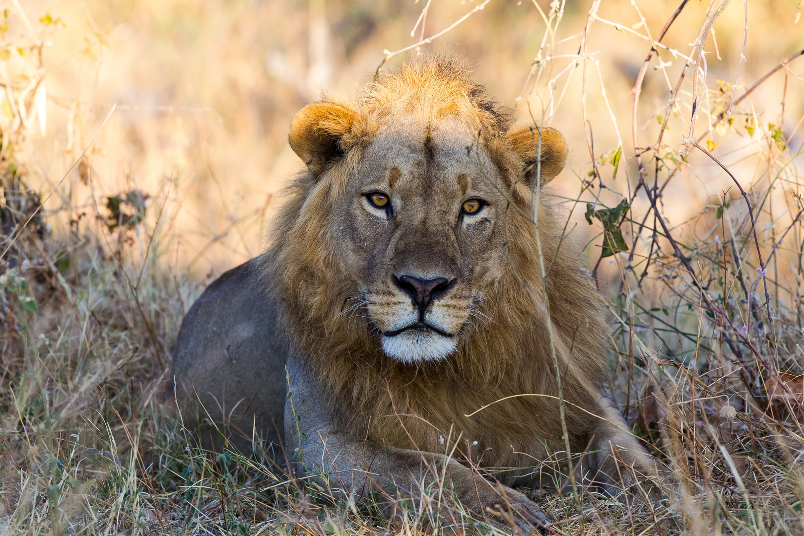 Löwe, Linyanti-Region, Botswana