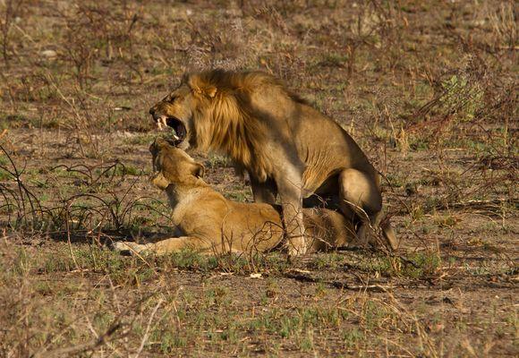 Löwe mag Löwe