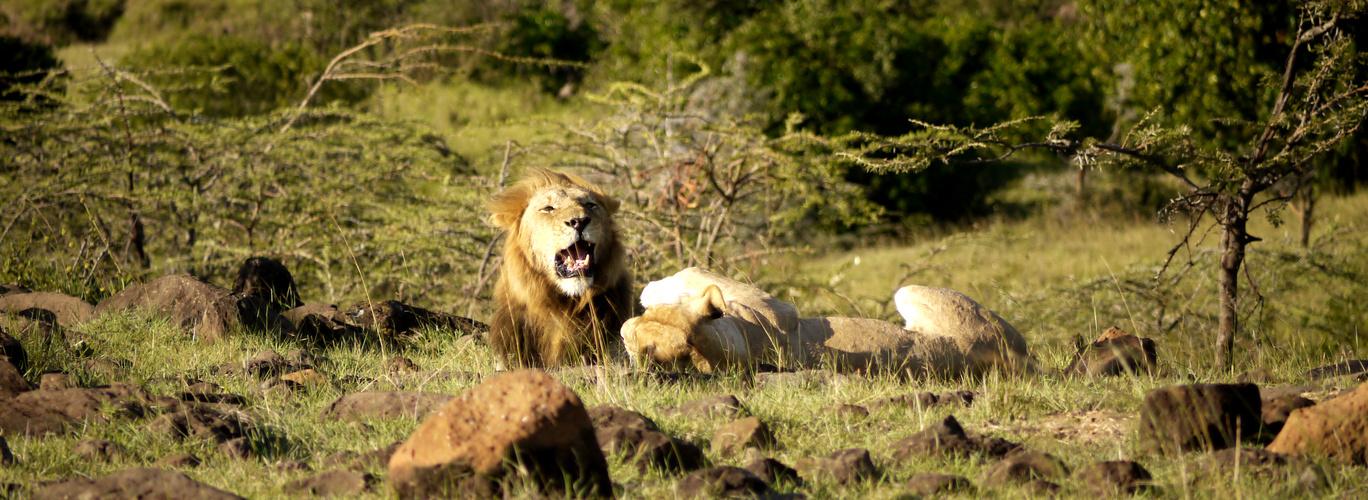 Löwe mit 2 Löwenweibchen