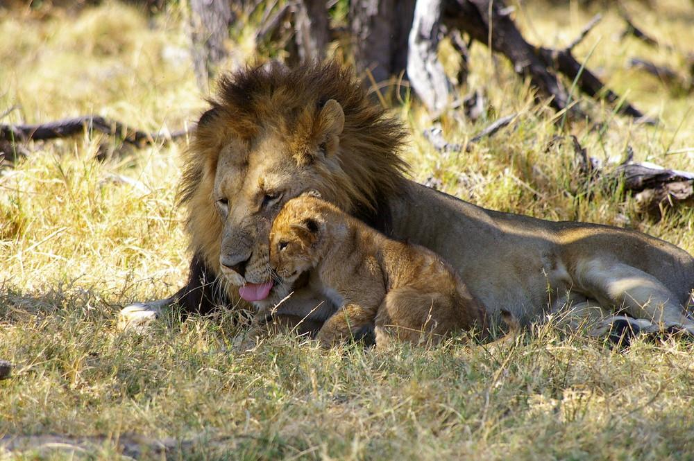 Löwe mit Baby