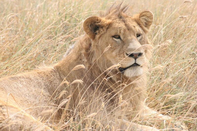 Löwe (Ngorongoro Krater, Tansania)