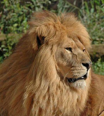 Löwe (Panthera Leo) Teil 2
