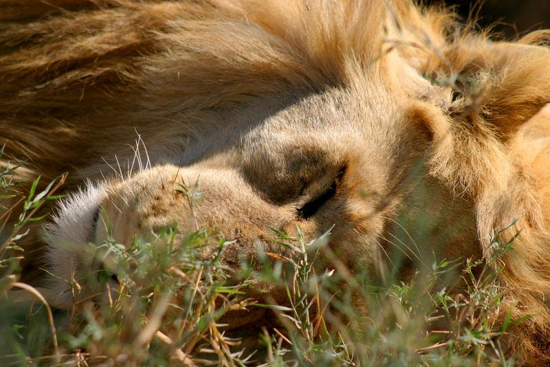 Löwe Serengeti