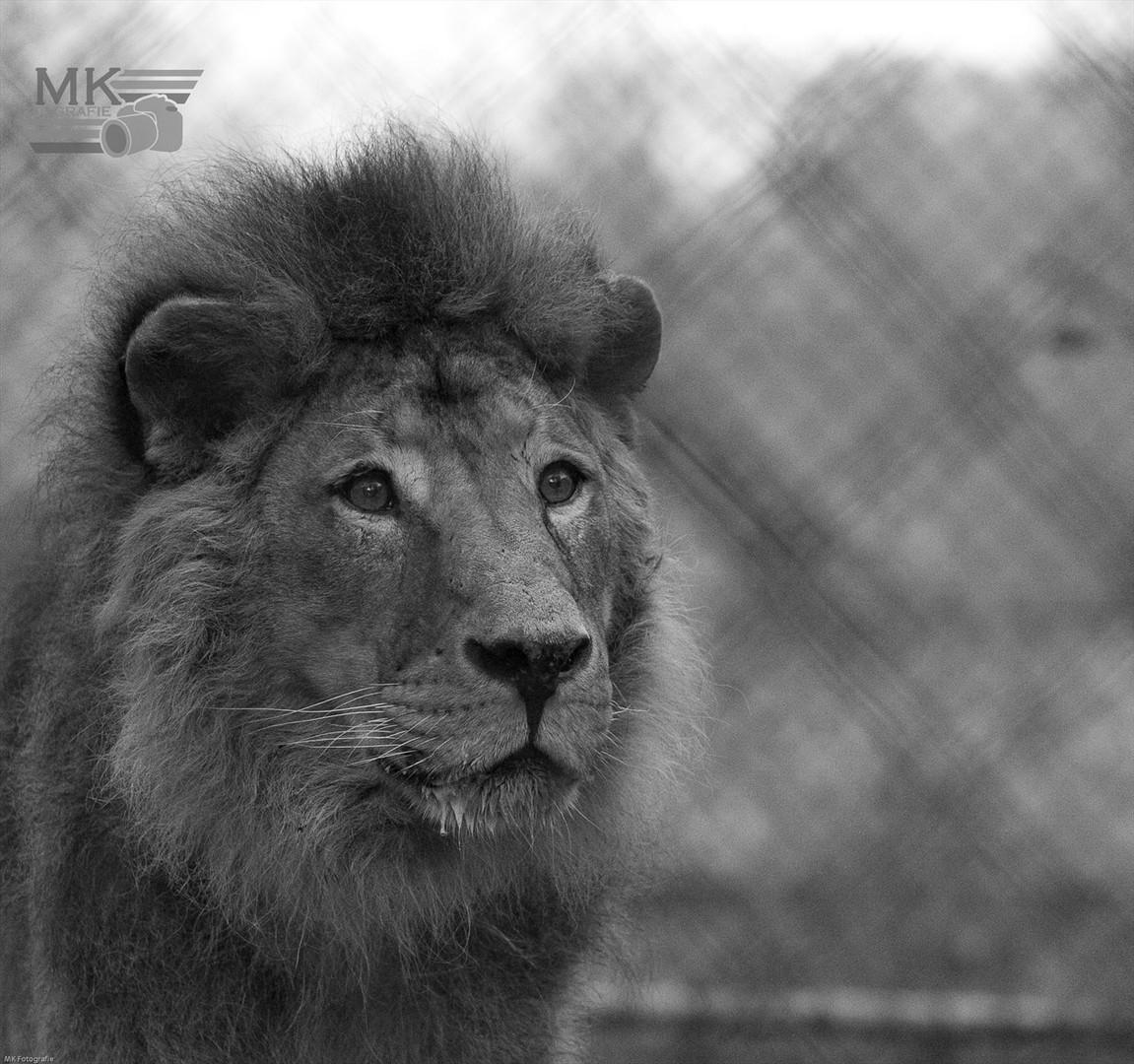 Löwe Simba aus Straubing